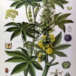 hint-yagi-bitkisi